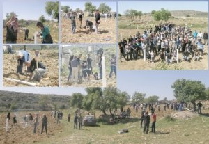 BADIL's Land Day action: Olive tree planting in al-Khader, March 2013 (© BADIL).